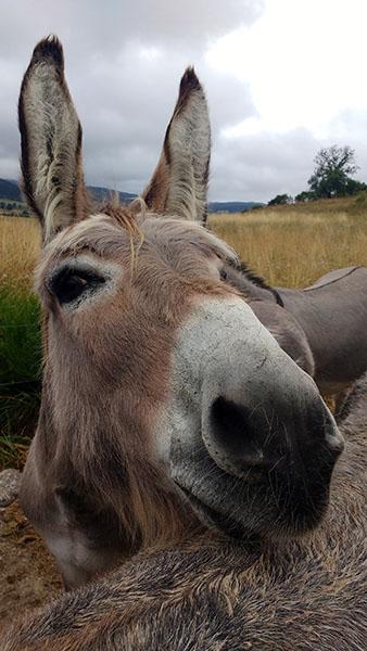 Les ânes en Margeride